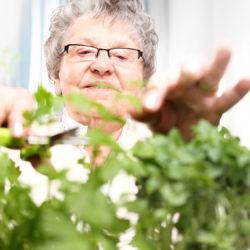 Zielony parapet, uprawa zi w domu. Starsza siwa kobieta przycina zielone pdy zi.